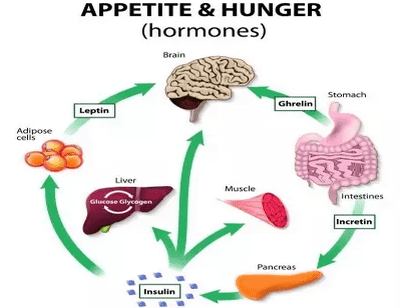 How Hunger Hormones Play Major Roles in Appetite