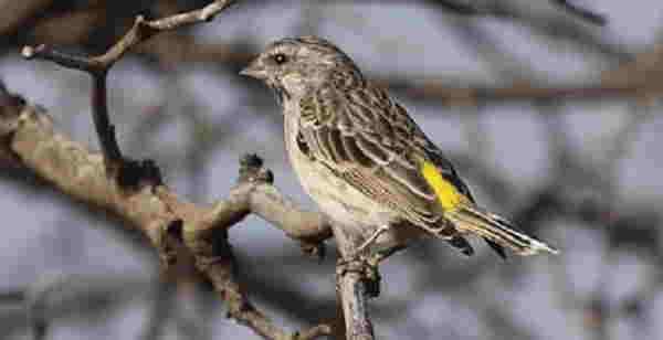 burung blackthroat jantan