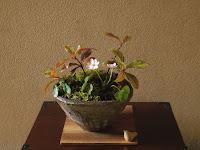 ユキワリソウとヤブコウジとミヤコワスレの山野草の盆栽