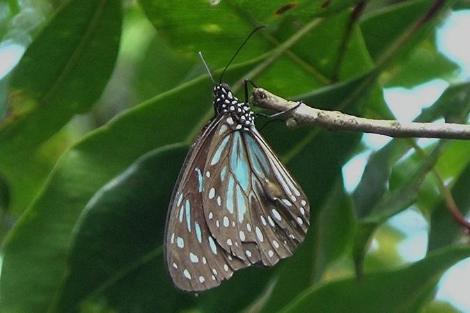 Dlium Blue tiger (Tirumala limniace)