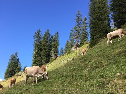Kühe im Steilhang