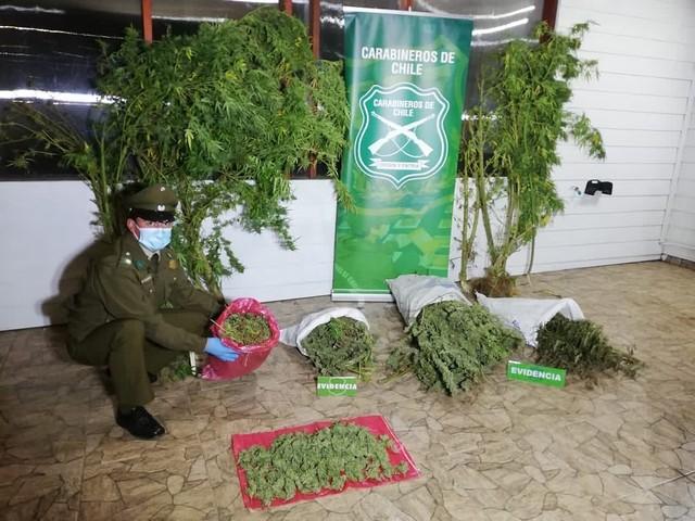 Descubren invernadero ilegal en la comuna de La Unión