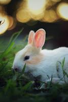 معلومات عن الأرانب - لون الأرنب - طول الأرنب - تكاثر الأرنب