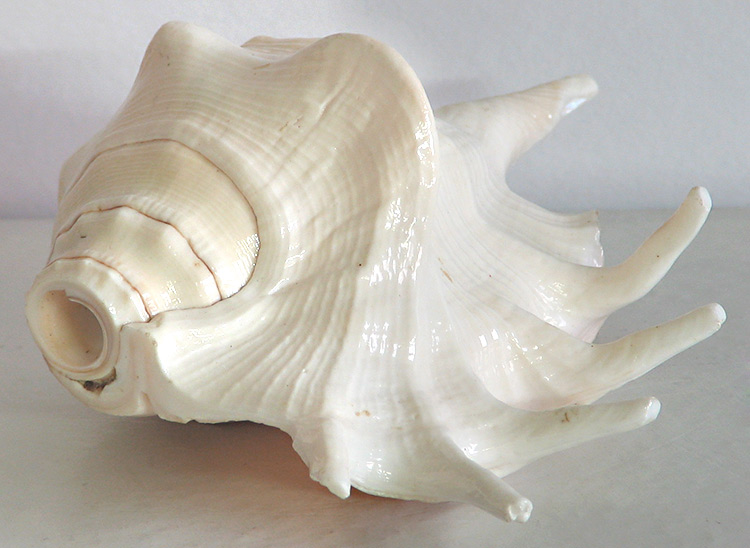 Indian Aarti Conch Shell