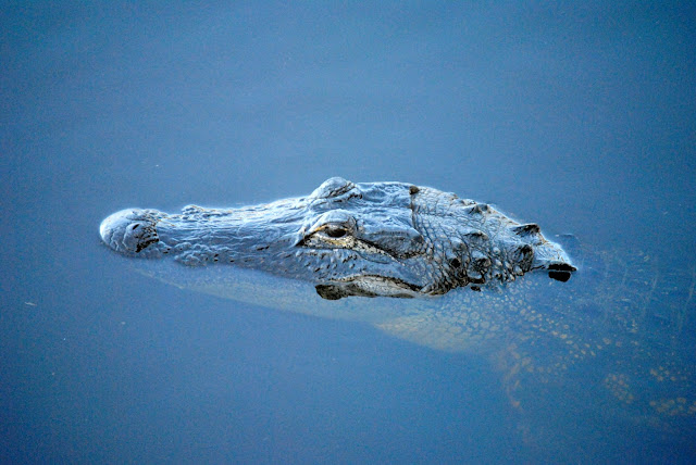 Gators and cavorting Stilts on a lazy Myakka River afternoon