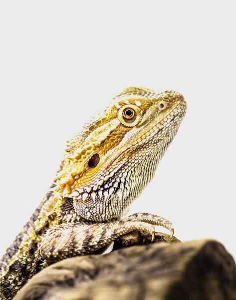 Hidden away: An enigmatic mammalian brain area revealed in reptiles