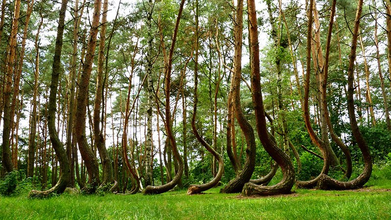 crooked forest; bent trees; weird trees; eerie forest; wynthrope forest; crooked trees; poland forest; poland forest; crooked bush; j-shaped trees; curved trees; poland crooked forest; curved tree; shaped trees; forest pine; crooked forest in poland; hoia baciu forest bent trees; weird forest; bent trees in the forest; forest pine trees; weird shaped trees; trees growing sideways; trees in poland; bent trees in the woods; odd shaped trees; forests in poland; curved tree forest;
