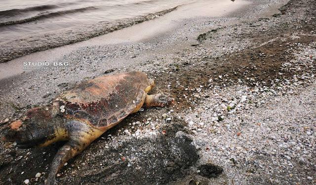 Την τελευταία της πνοή άφησε θαλάσσια χελώνα σε παραλία της Αργολίδας