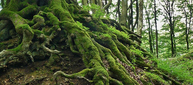 surface roots of an invasive Invasive tree species