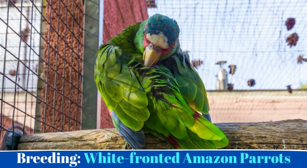 how to breed White-fronted Amazon Parrots