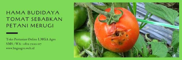 hama,hama tanaman,budidaya tanaman,tomat,budidaya tomat,lmga agro