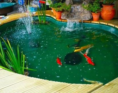 rahasia membuat kolam ikan hias yang menyehatkan - ikan