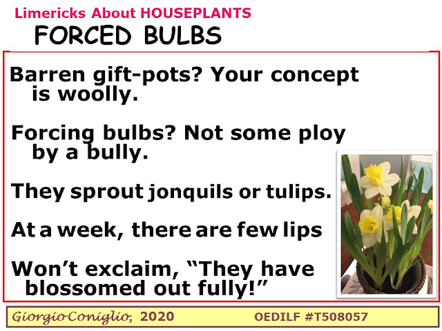 limerick; houseplants; flowering; jonquil; tulip; Giorgio Coniglio
