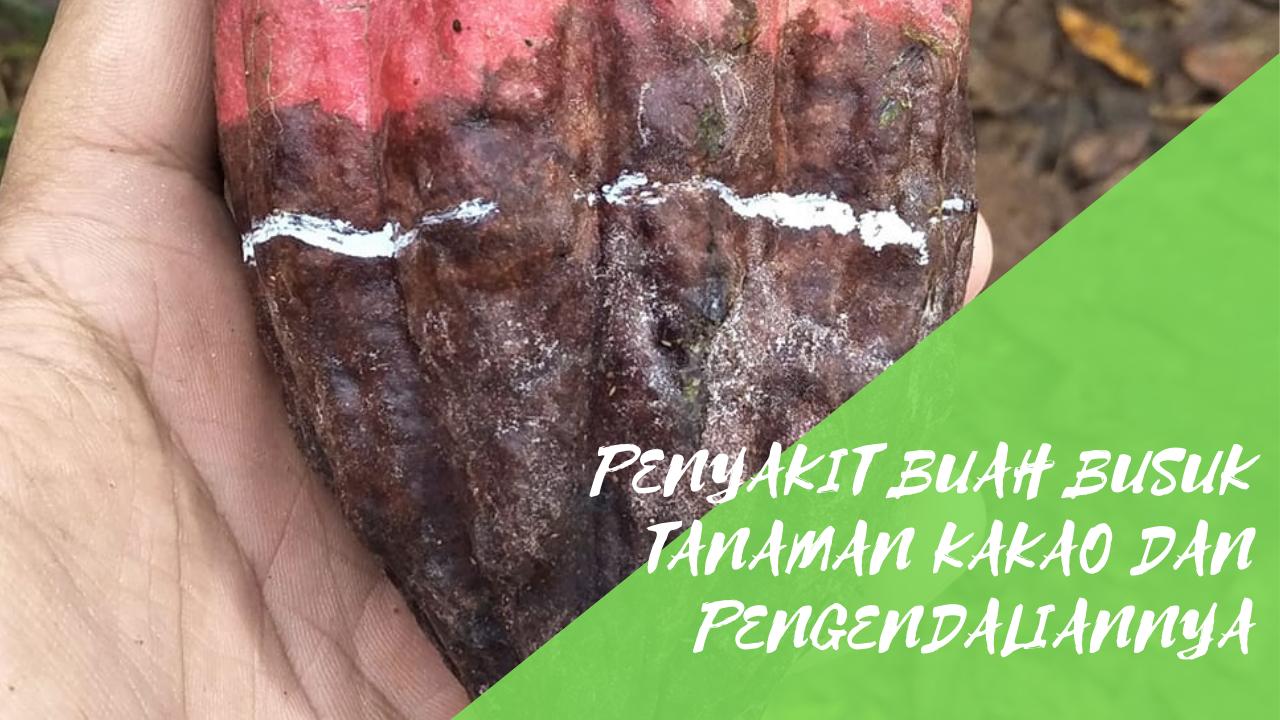 Penyakit Buah Busuk Tanaman Kakao dan Pengendaliannya