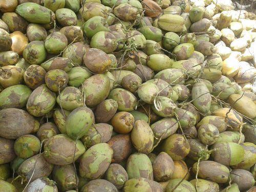 CoconutIndia com: Coconut suppliers in Peravurani