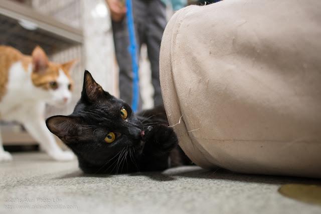 西国分寺シェルターの黒猫が猫用の布トンネルについている木の紐止めをかじって遊んでいる写真