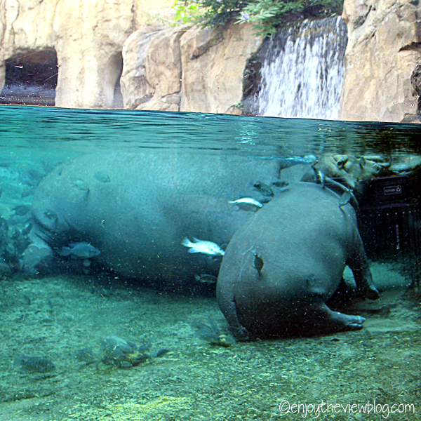 Mother and baby hippo napping in the water at the Cincinnati Zoo