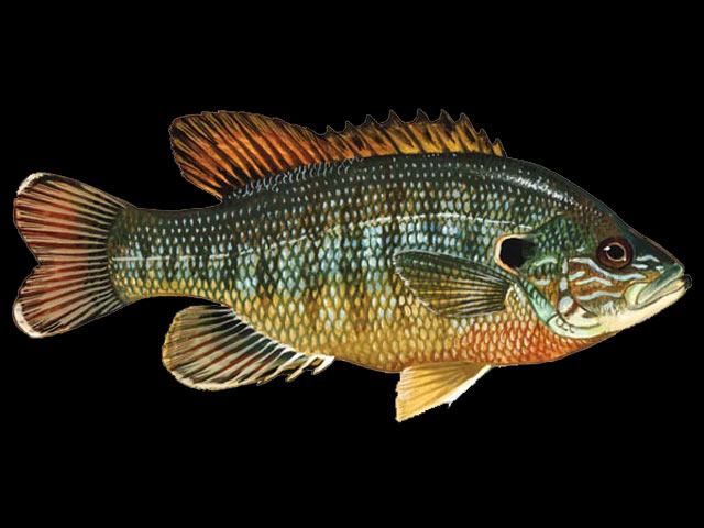 Freshwater Fish List Beginning With G | Animals Name A To Z