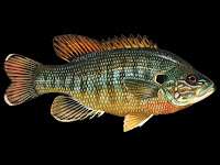 Green Sunfish Pictures