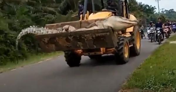 Benarkah Buaya Jumbo di Bangka Belitung Buaya Siluman? Ini Penjelasan LIPI