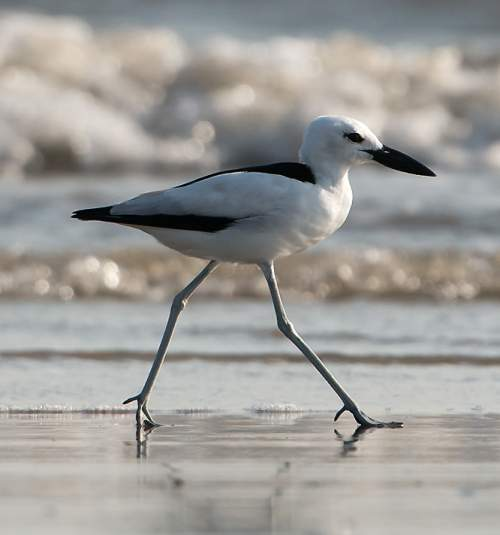 Photo of Crab-plover - Dromas ardeola
