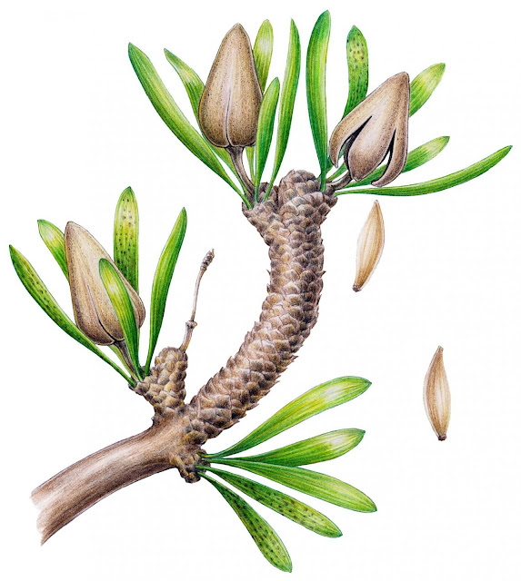 Palaeontologists find fossil relative of Ginkgo biloba plant