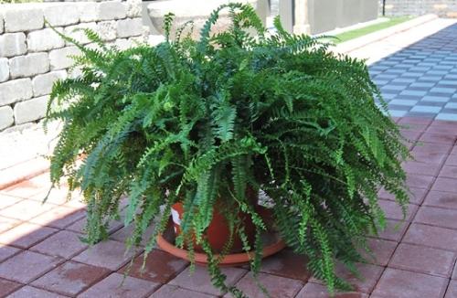 Feriga Boston o planta care lupta impotriva mucegaiului
