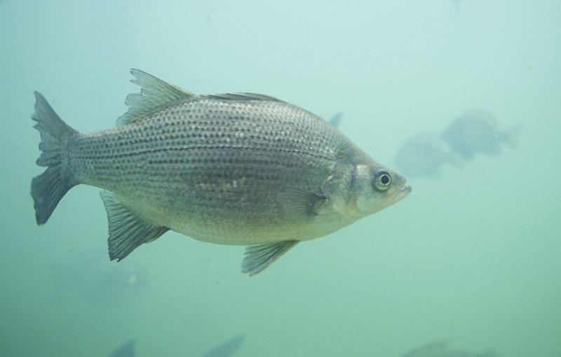 Peixe Morone chrysops