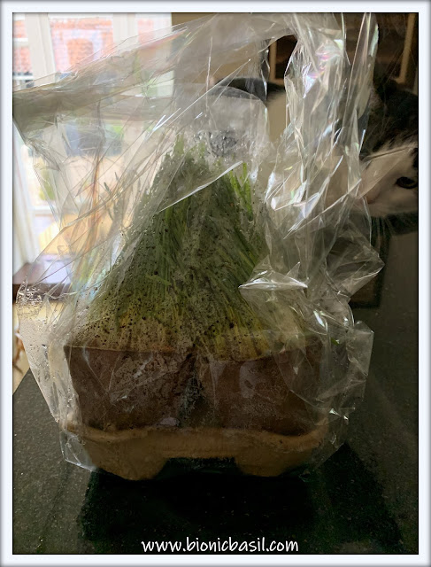 What's In The Box ©BionicBasil® My Cat Grass with Melvyn