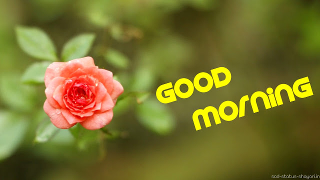 Good morning image rose flower