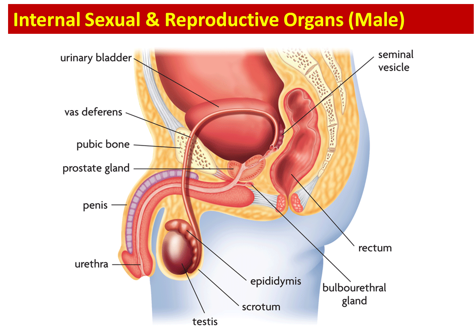 Male And Female Reproductive System Parts And Functions