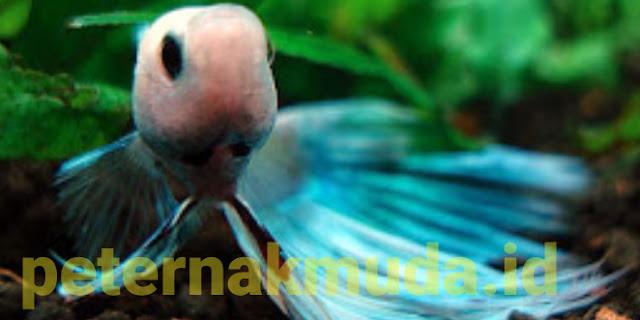 Ikan Warna Cantik