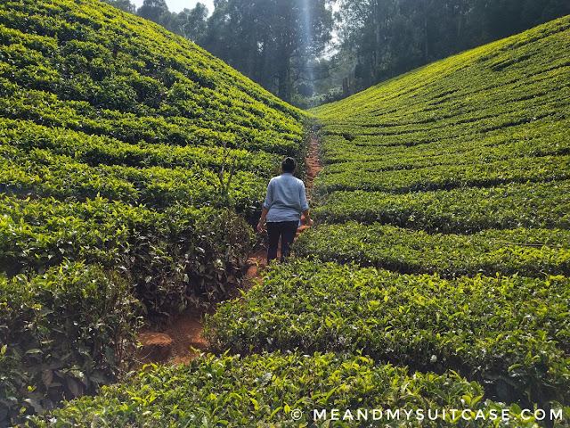 Tea Plantation Ooty