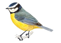 https://www.xeno-canto.org/sounds/uploaded/ZNCDXTUOFL/XC235125-Parus_major_Poland_Jarek_Matusiak_150410_03.mp3