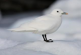 Ivory Gull, St.John's Newfoundland