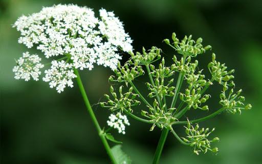 Ajwain (Trachyspermum ammi) benefits Herbal Arcade