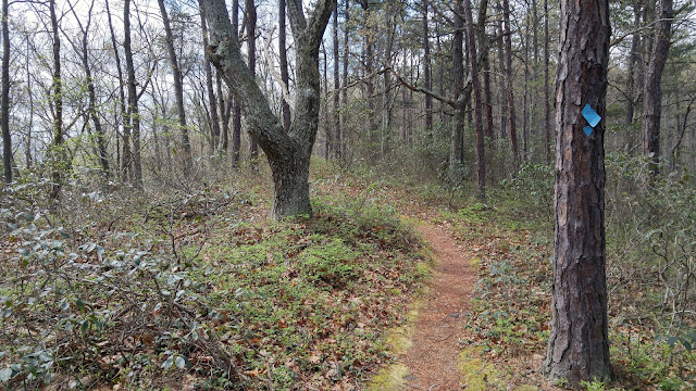 A narrow trail winds through mountain laurel and various kinds of hardwood and pine trees. North Fork Mountain Trail, West Virginia