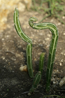 Kleinia stapeliiformis - Senecio stapeliiformis