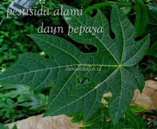 Pestisida Alami Dari Bahan Sederhana daun pepaya