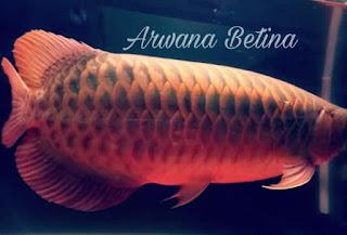ikan Arwana betina