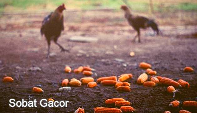 Manfaat Jagung Untuk Ayam Aduan