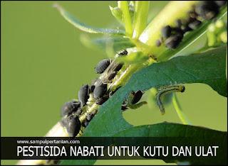 PESTISIDA NABATI untuk Kutu daun dan Ulat