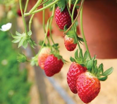 Πολύ κοντά στη δημιουργία ελληνικής ποικιλίας φράουλας