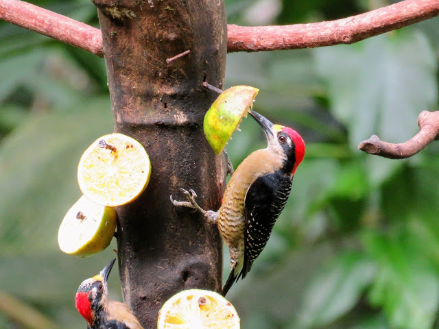 Costa Rica Itinerary: Woodpeckers