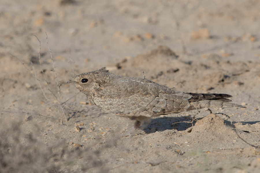 Juvenile Egyptian Nightjar