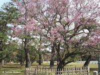 Kurokinoume plum tree in bloom (ume) - Kyoto Gyoen National Garden, Japan