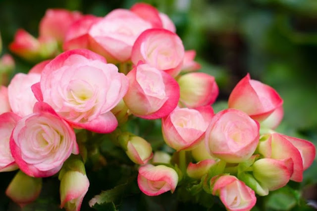 The Begonia of Albania, a Flower of Astonishing Medicinal Value