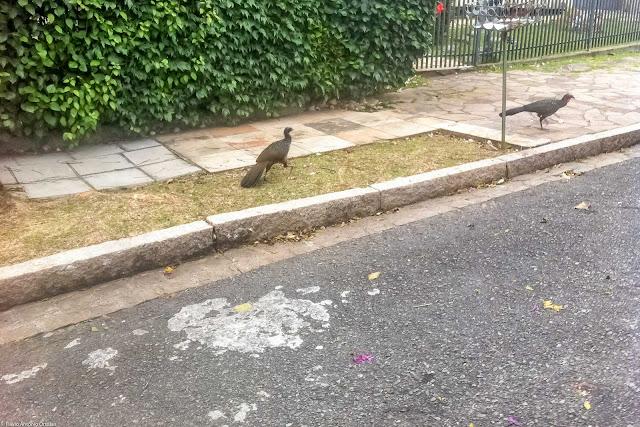 Jacus passeando calmamente na rua