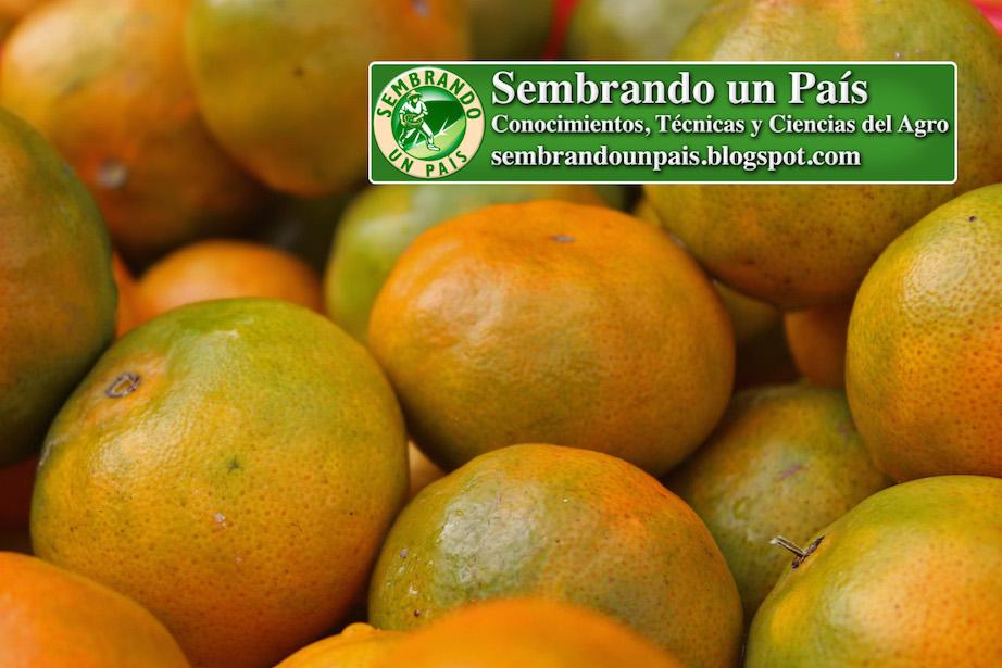 ricos frutos de mandarina