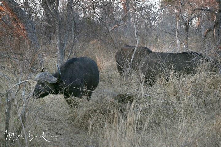 Búfalos-Lake-Panic-Kruger